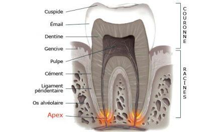 Apex (foramen apical)