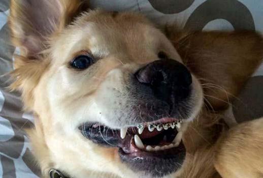 Orthodontics for dogs