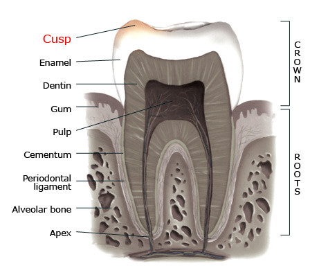 Dental cusp - Studio Dentaire