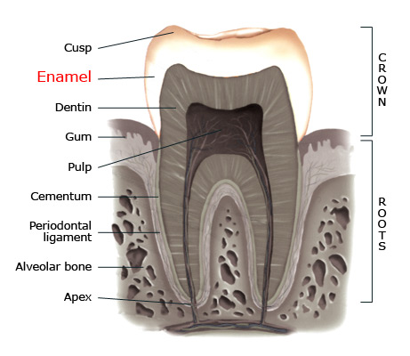 Enamel within a tooth