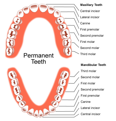 Permanent Teeth - Adult Teeth - Studio Dentaire