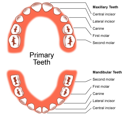 Set of Primary Teeth
