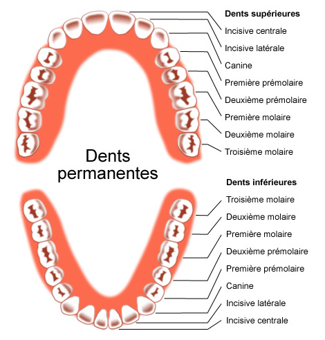 Dents permanentes