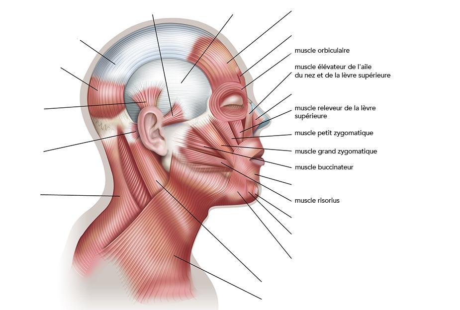 Muscles de la joue