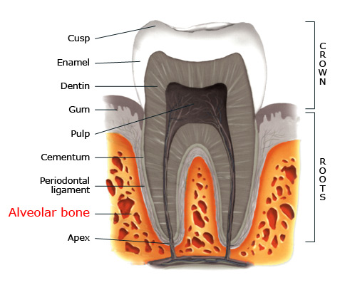 Alveolar bone within a tooth