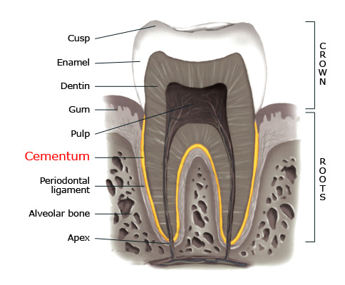 Cementum within a tooth