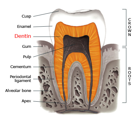 Dentin within a tooth