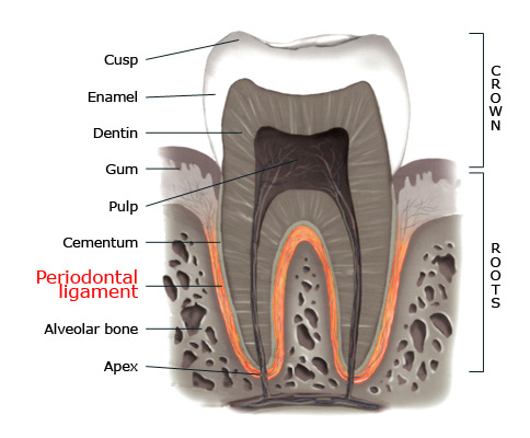 Periodontal ligament within a tooth