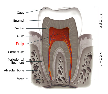 Pulp within a tooth