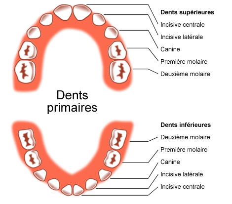Complet Éruption des dents | Studio Dentaire HS27