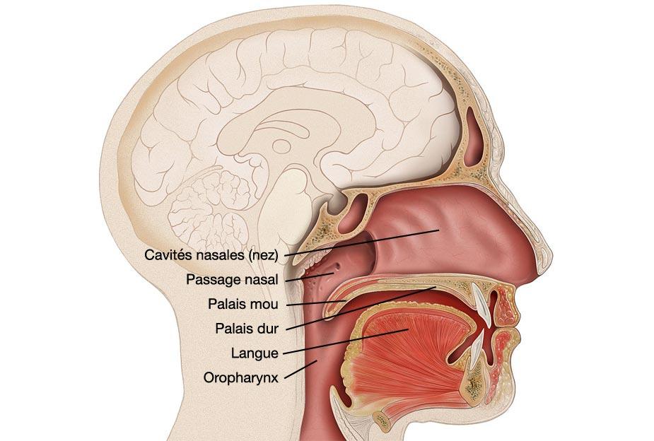 Anatomie du palais, photo adaptée d'une illustration créée par Patrick J. Lynch, illustrateur médical.